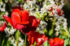 Tulipani che fioriscono nella ciliegia Immagini Stock