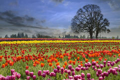 Tulipani che fioriscono nella stagione primaverile Fotografie Stock