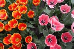 Tulipani che mostrano il suo cuore fotografie stock libere da diritti