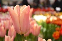 Tulipani colorati Immagine Stock