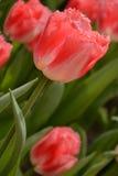 Tulipani colorati Fotografia Stock