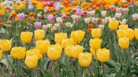 Tulipani colorati multiplo in un giardino colpo del cursore archivi video