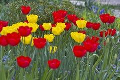 Tulipani Colori unici rossi e tulipani gialli su luce solare Fondo della carta da parati del tulipano Il tulipano fiorisce la str Immagini Stock