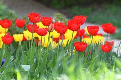 Tulipani Colori unici rossi e tulipani gialli su luce solare Fondo della carta da parati del tulipano Il tulipano fiorisce la str Immagine Stock Libera da Diritti