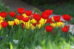 Tulipani Colori unici rossi e tulipani gialli su luce solare Fondo della carta da parati del tulipano Il tulipano fiorisce la str Fotografia Stock Libera da Diritti