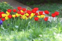 Tulipani Colori unici rossi e tulipani gialli su luce solare Fondo della carta da parati del tulipano Il tulipano fiorisce la str Fotografie Stock Libere da Diritti