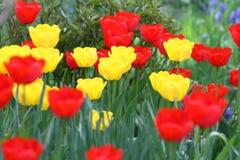 Tulipani Colori unici rossi e tulipani gialli su luce solare Fondo della carta da parati del tulipano Il tulipano fiorisce la str Fotografia Stock