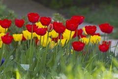 Tulipani Colori unici rossi e tulipani gialli su luce solare Fondo della carta da parati del tulipano Il tulipano fiorisce la str Fotografie Stock