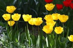 Tulipani Colori unici rossi e tulipani gialli su luce solare Fondo della carta da parati del tulipano Il tulipano fiorisce la str Immagine Stock
