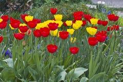 Tulipani Colori unici rossi e tulipani gialli su luce solare Fondo della carta da parati del tulipano Il tulipano fiorisce la str Immagini Stock Libere da Diritti