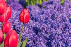 Tulipani con il giacinto Fotografia Stock Libera da Diritti