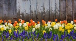 Tulipani contro il vecchio granaio Fotografia Stock