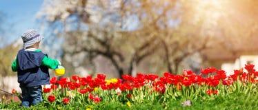 Tulipani d'innaffiatura del piccolo bambino sul letto di fiore nel bello giorno di molla Immagini Stock