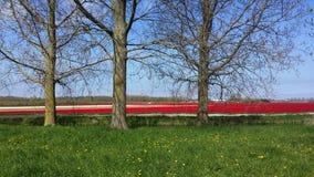 Tulipani dall'Olanda Immagini Stock Libere da Diritti
