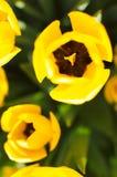 Tulipani dalla vista superiore Fotografia Stock Libera da Diritti