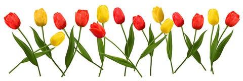 Tulipani dei fiori per il giorno del ` s del biglietto di S. Valentino e l'ottavo marzo Immagine Stock