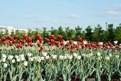 Tulipani dei fiori rossi e bianchi Fotografie Stock Libere da Diritti