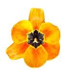 Tulipani del bottone su fondo bianco Fotografie Stock