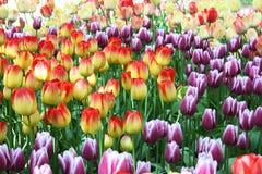 tulipani del campo Fotografie Stock Libere da Diritti