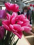 Tulipani del doppio di Columbus Fotografia Stock