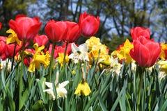 Tulipani del fuoco rosso fotografie stock libere da diritti