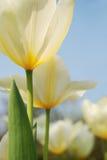 Tulipani del giardino Fotografie Stock Libere da Diritti