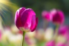 Tulipani del giardino botanico di Wuhan Fotografie Stock Libere da Diritti
