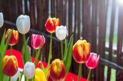 Tulipani del giardino botanico di Wuhan Fotografia Stock Libera da Diritti