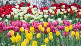 Tulipani del giardino botanico di Wuhan Fotografia Stock
