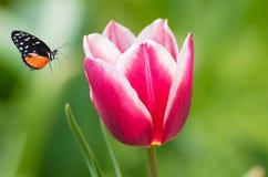 Tulipani del giardino botanico di Wuhan Immagini Stock Libere da Diritti