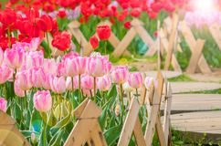 Tulipani del giardino botanico di Wuhan Fotografie Stock