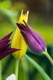 Tulipani del giglio Fotografia Stock Libera da Diritti