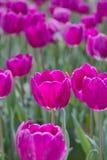 tulipani del purpler Fotografia Stock Libera da Diritti