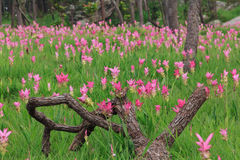 Tulipani del Siam Immagini Stock
