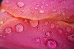 Tulipani dell'acqua fotografia stock libera da diritti