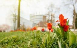 Tulipani della costruzione del Parlamento Europeo e della primavera rossa Fotografia Stock