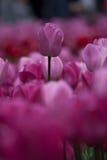 Tulipani della manifestazione di Canberra Floriade Fotografie Stock