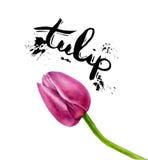 Tulipani della pittura dell'acquerello di vettore Tulipano isolato rosa su fondo bianco Fotografia Stock Libera da Diritti