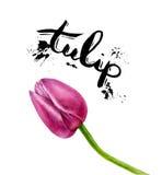 Tulipani della pittura dell'acquerello Tulipano isolato rosa su fondo bianco Immagine Stock Libera da Diritti