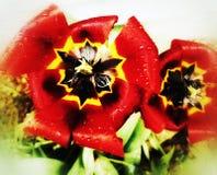 Tulipani della primavera Fotografie Stock