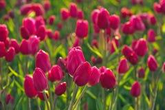 Tulipani della primavera Immagini Stock Libere da Diritti