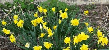 Tulipani della primavera Immagine Stock