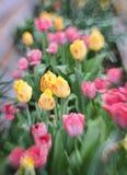 Tulipani della primavera di Lensbaby Fotografia Stock