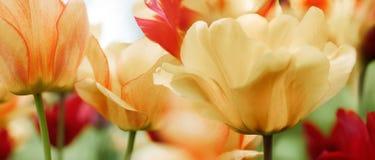 Tulipani della primavera in un giardino, alta chiave Fotografia Stock
