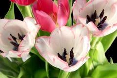 Tulipani della sorgente Fotografie Stock