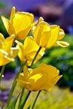 Tulipani della sorgente Immagine Stock