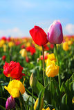 Tulipani della sorgente Fotografia Stock Libera da Diritti