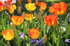 Tulipani della sorgente Immagini Stock