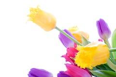 Tulipani della sorgente isolati su un bianco Fotografie Stock