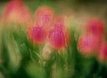 Tulipani della valle di Skagit Immagini Stock Libere da Diritti